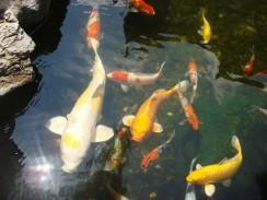 По древнекитайской традиции фэншуй, декоративные рыбки должны быть неотъемлемой частью пруда.
