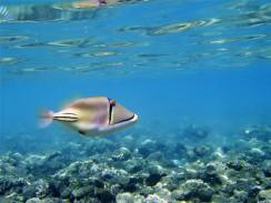 Весьма странная рыбка — «ринекант Пикассо». Шарм-эль-Шейх. Египет.