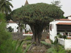 Испания. Санта-Крус-де-Тенерифе. Драконовое дерево.
