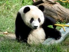 Панда в Пекинском зоопарке. Китай